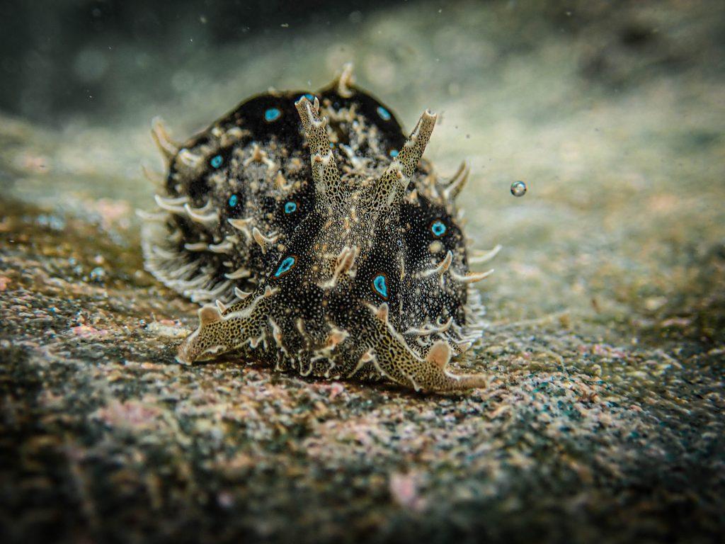 Kelinci laut Bursatella leachii